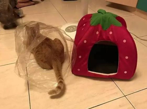 给猫买回个新窝,拆开包装后猫咪的举动让主人无语:怕是个傻子