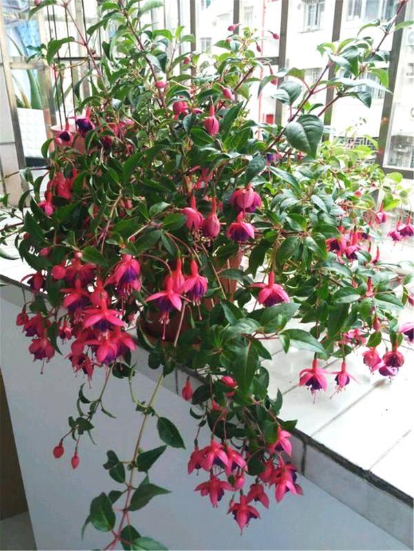 这花很美,一次开花上百朵,养阳台上就像花海,做家居盆栽很适合