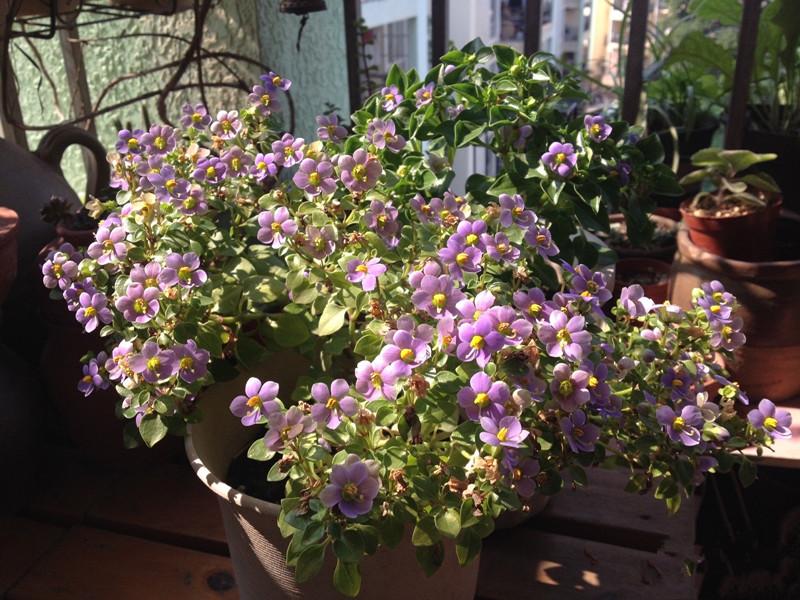 新型室内盆栽花卉,植株小巧可爱,全年开花,香气怡人,值得入手