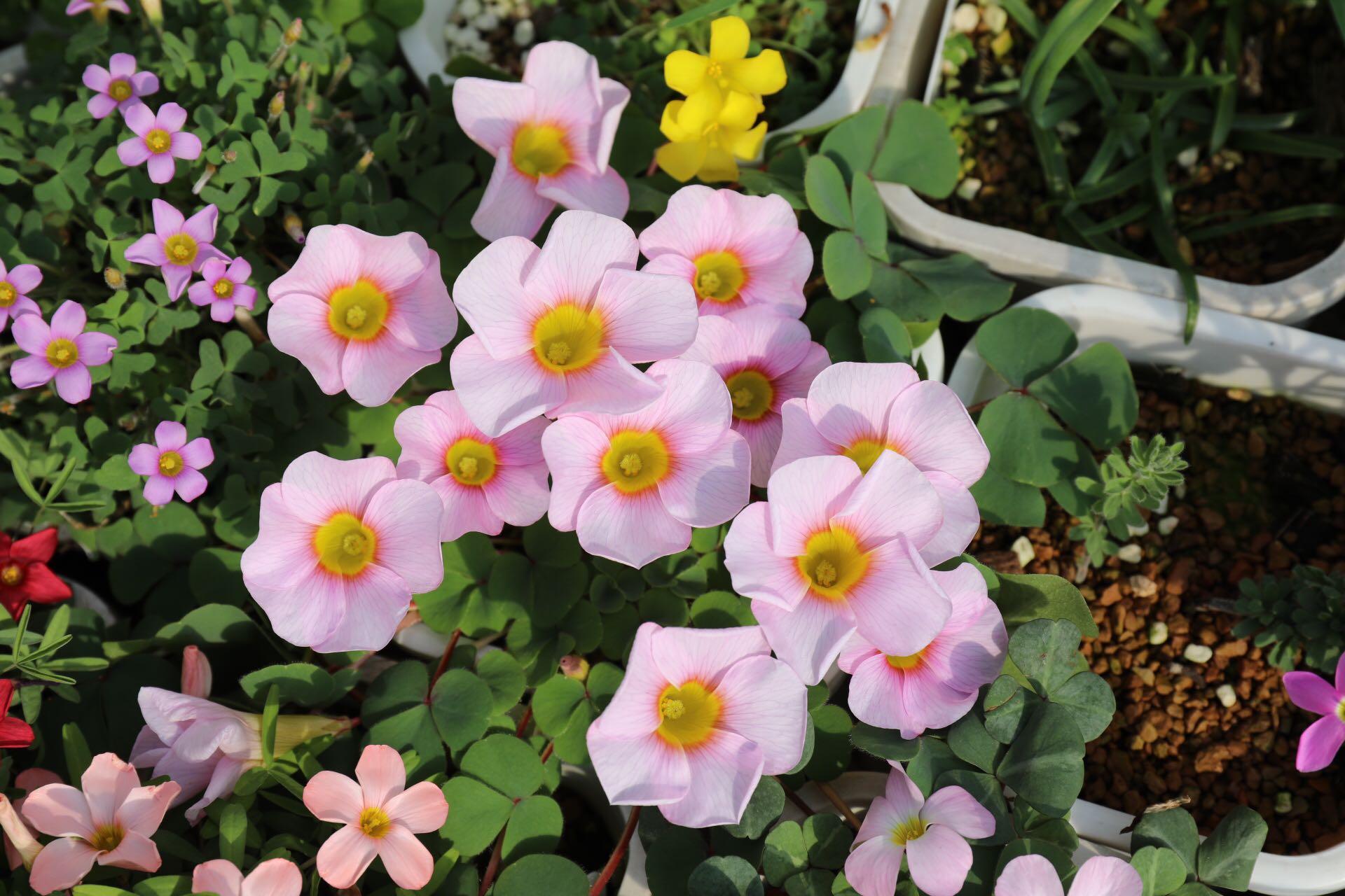 """盆栽花卉""""新宠儿"""",丢土里就能活,一年三季都是花,阳台变花园"""