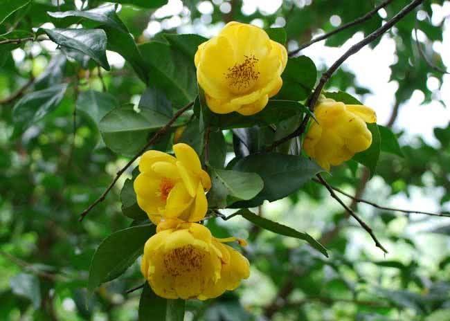 """农村野树开出奇特花朵,外国人称它""""茶族皇后"""",你们村有吗"""