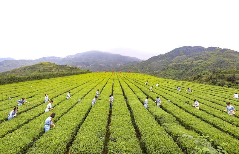 """茶客纷至点""""秋香"""" 2019安溪铁观音京东秋茶节启动"""