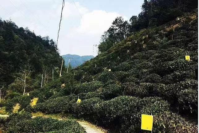 西湖龙井茶的母亲在哪?800多岁的它来告诉你!