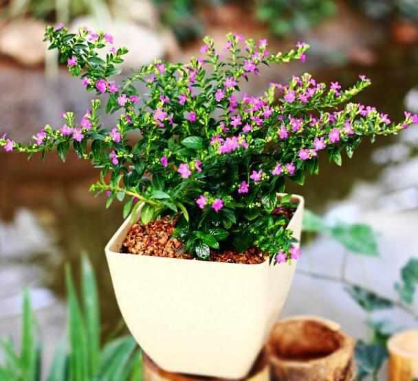 花卉养护时如何使用高锰酸钾?