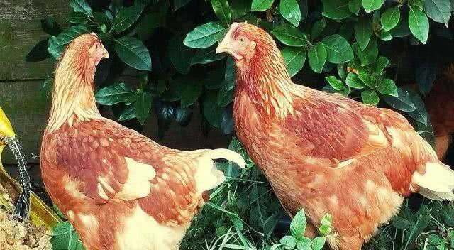 农村90后创业,分析北方农村家禽养殖,养殖哪种家禽更容易赚钱
