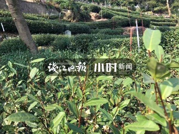 """浙江多地人工增雨!西湖龙井茶""""喊渴""""了,明年春茶要受影响?"""