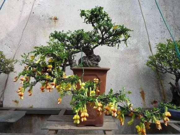 """被誉为盆景""""四大家""""的植物,2招做成价值万元的盆景"""