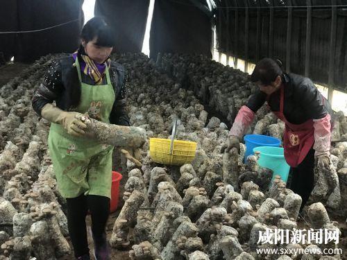 旬邑县郑家镇仁安村食用菌产业基地