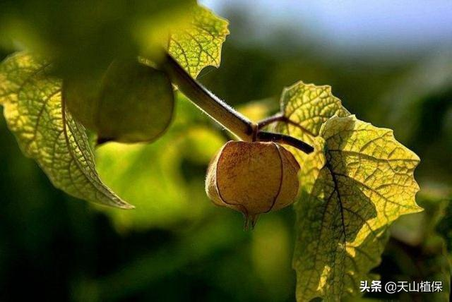 这种形似灯笼的野生小红果,口感丰富价值高,学会种植前景好