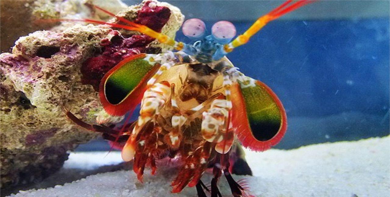 """海鲜中的""""泰森"""",没有防弹玻璃鱼缸不敢养,网友:敢吃的是壮士"""