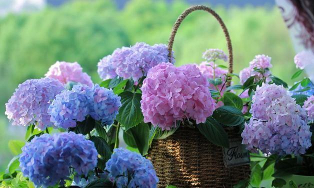 鲜花市场最好卖的品种之一, 以前种类单一, 价格却比较高, 而现在