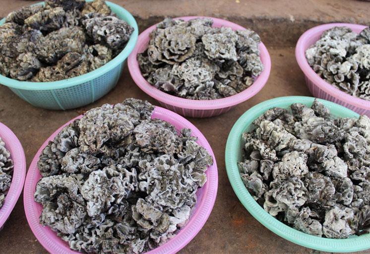 在云南深山里,有一种外形像绣球的食用菌,野生一公斤能卖一千元