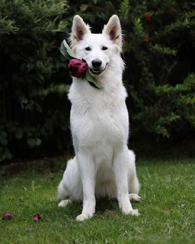 这2只黑白牧羊犬超会拍婚纱照,人类最爱摆的姿势它们都会……