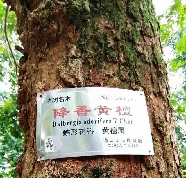 世界上最名贵的木材, 比黄金都贵, 主要生长在中国的这个地方
