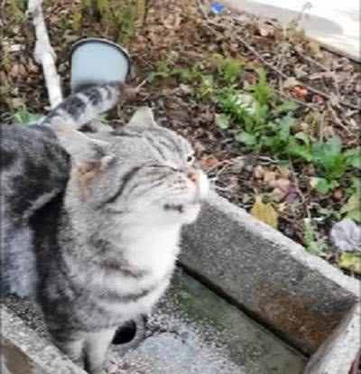 猫咪太渴了,只好跑到水龙头下面,闭着眼睛接水喝!