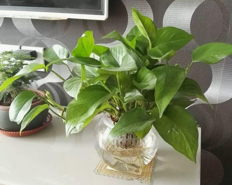 盆里塞1个竹炭包,保温又杀菌,叶子长得油绿发亮!