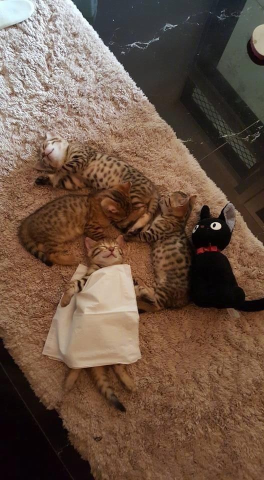 主人看小猫仰着睡怕它着凉,给它盖了张纸巾,这被子是不是太薄了