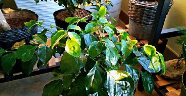 冬季幸福树这样养护在客厅