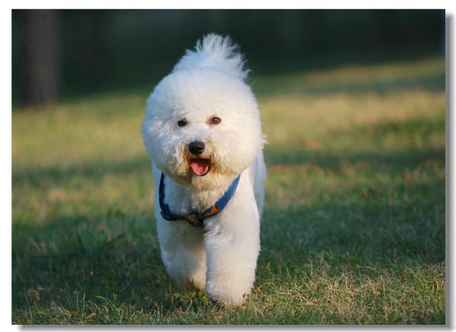 女生养狗养什么品种?6只长得好看的宠物犬,值得考虑