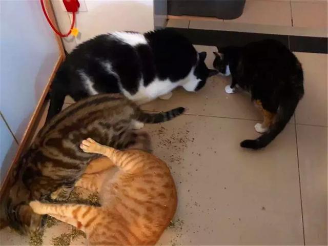 猫薄荷罐头不慎被打翻,家中猫咪前来狂吸,瘫在地上很愉悦!  ?