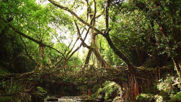 印度人用树种了一座桥:没用一点钢筋水泥,距今500年越走越安全