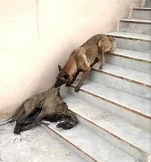 一起玩却出了事,狗狗拖着死去同伴上楼梯,这画面让人心酸感动!