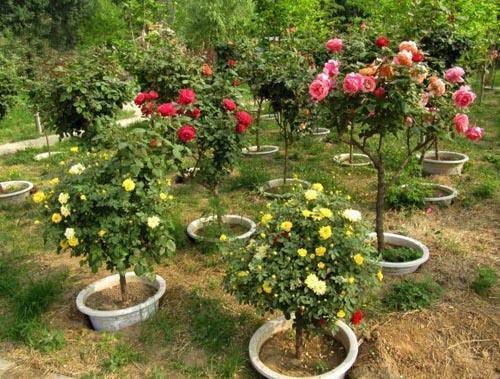 庭院里种上两棵,花期长达250天,一年四季都美爆了