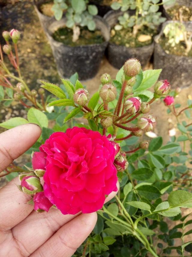 绿萝扔了吧!此花浇水就能活,花期180天,随便栽一株庭院成花海