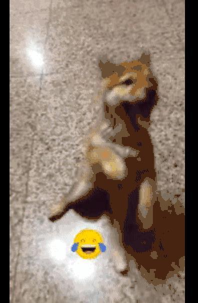 主人叫柴犬过来,结果地板太滑它直接翻了个跟头,仿佛听到惨叫声