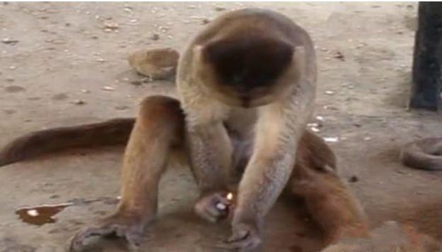 男子逛动物园,被猴子抢走打火机,抓在手里把玩,下一刻哭笑不得