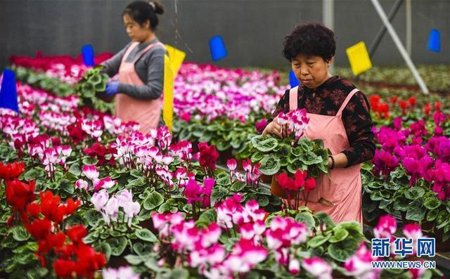 河北霸州:40万盆鲜花扮靓京津两节市场
