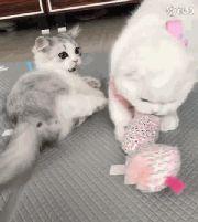 两只猫为一个小枕头而打架……