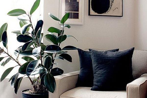 橡皮树冬天怎么养?天寒保暖是首要,多晒太阳可保叶子绿油油!