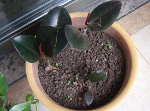 橡皮树扦插好时节,现在掐个枝插土里,10天可生根,开春后疯长