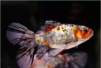 把观赏鱼放到鱼缸里之后才想起养水,这可怎么养?