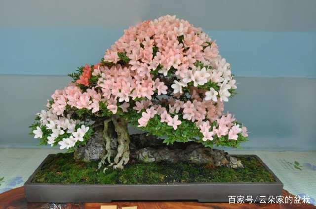 """树桩盆景的""""4大""""提根方法与注意事项,简单易学,抓紧收藏!"""