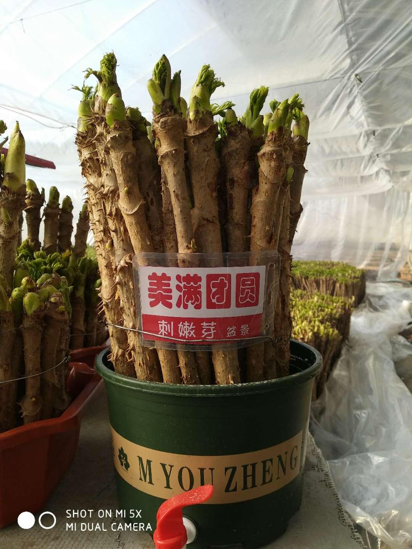 桦甸山野菜大王李树林扮刺嫩芽为盆景反季卖