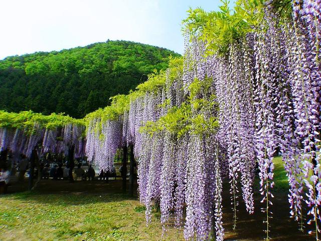 花姿曼妙,团簇生长的紫藤花,温馨飘逸,养成亚博体育下载苹果需要注意什么?