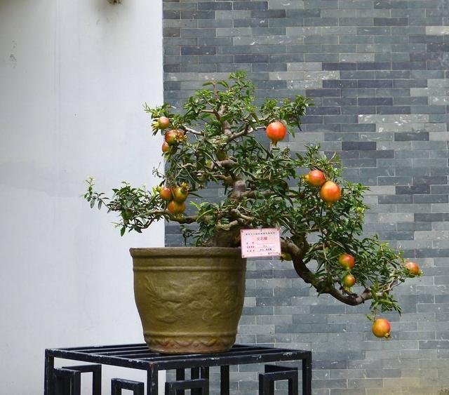 观赏价值高,成熟后果实红彤彤,石榴盆景怎么管理,方法你知道吗