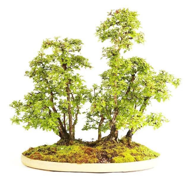 大师数十年潜心记录,终将盆景常用树木特性归纳到一张表格上!