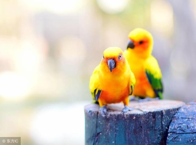 漂亮忠诚的宠物鹦鹉——可以随意在户外放飞的金太阳鹦鹉