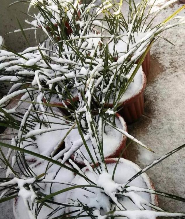 刚刚定植上盆的下山兰,花盆被风雪封冻,搬进温室大棚还有救吗