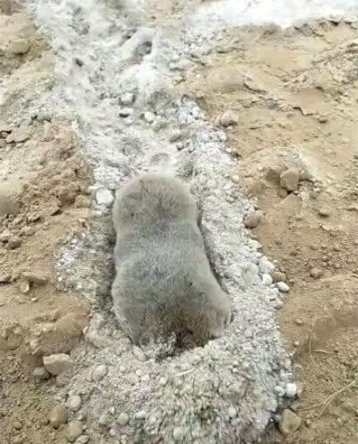 田里发现大老鼠在刨土,农民一看乐翻了,一缩一拱 鼠中挖掘机