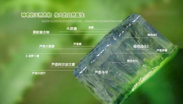 """这种""""库拉索芦荟""""可以食用 极具美容与保健功效 种植效益很不错"""