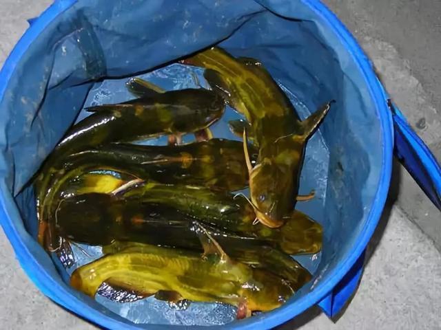 野钓黄颡鱼如何选饵?巧用家禽内脏出奇制胜,解析其特点和用法