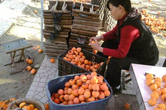 农村一种水果,鲜果价格很低,农民加工后十元一斤,年赚十万!
