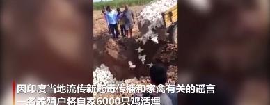 """因""""新冠病毒通过家禽传播""""谣言,印度农民活埋6000只鸡"""