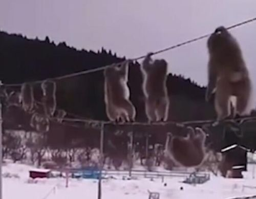 日本猕猴走电线是怎么回事?日本猕猴为什么走电线