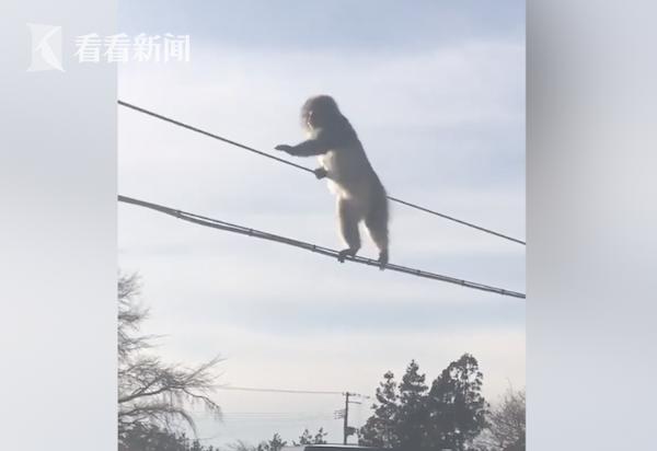 """视频 不想走雪地?日本猴子成精竟""""走钢丝""""玩杂技"""