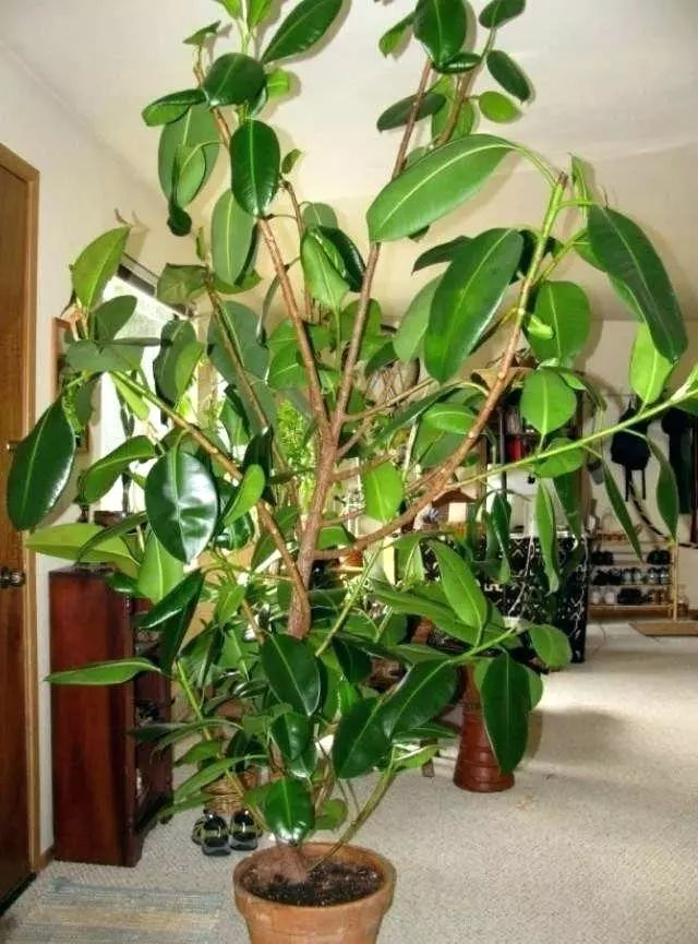 不用怎么管理的橡皮树,养在窗台边还能攀附向上生长